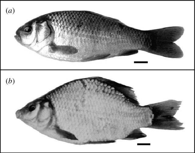 Die Variation morphologischer Plastizität über den Zeitraum der Individualentwicklung und zwischen den Geschlechtern