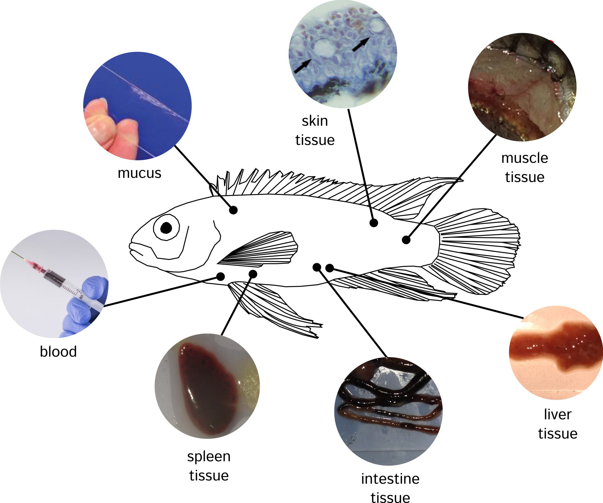 The location of alarm cues in Pelvicachromis taeniatus